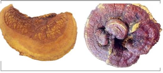 桑黄与灵芝、云芝联用,对肿瘤有抑制作用明显加强